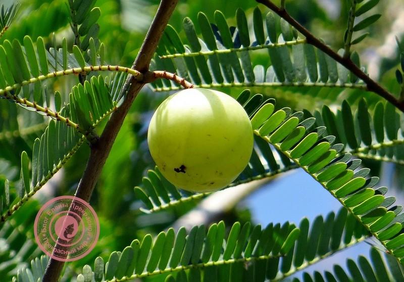 Полезные свойства амлы для организма и лечение
