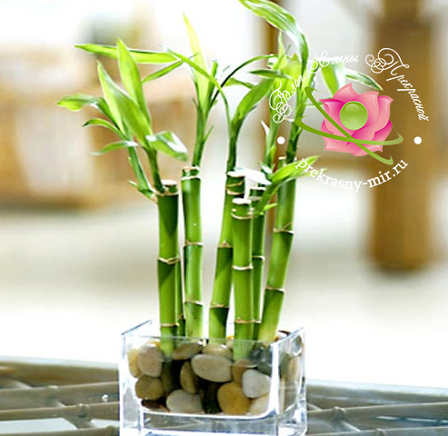 Бамбук счастья по фен шуй