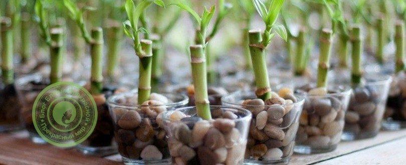 бамбук по фен шуй