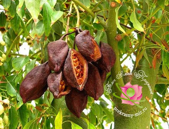 Фото дерева какао