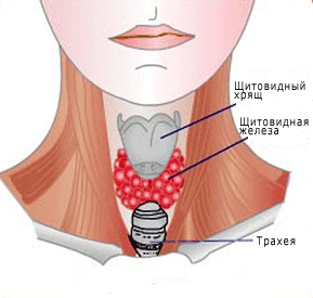 гормоны щитовидной железы