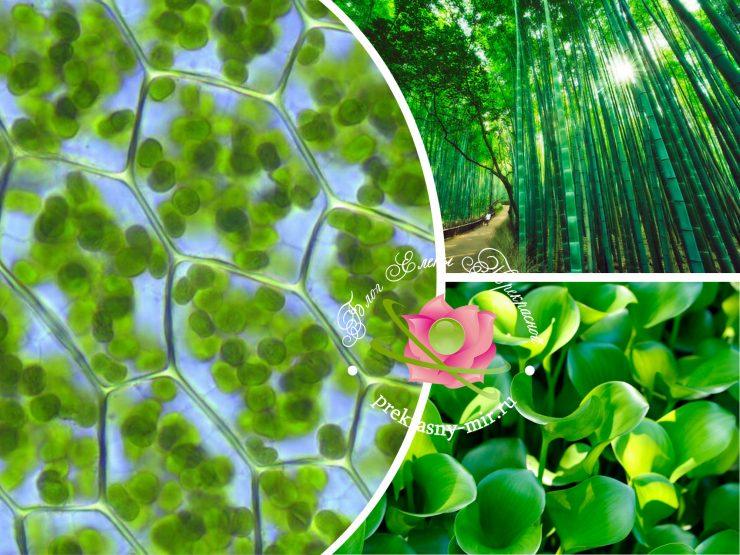 Что такое зеленый жидкий хлорофилл