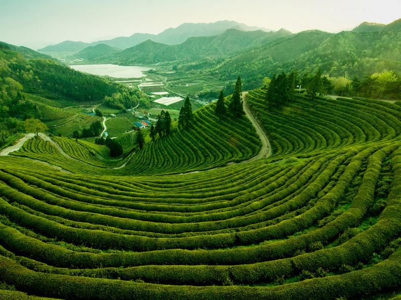 Чайные поля в Китае