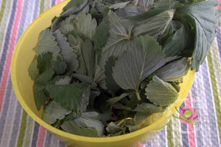 как приготовить ферментированный чай из листьев клубники