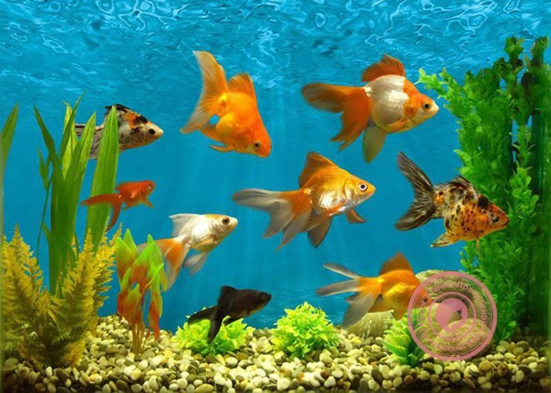 сколько рыбок должно быть в аквариуме по фен шуй