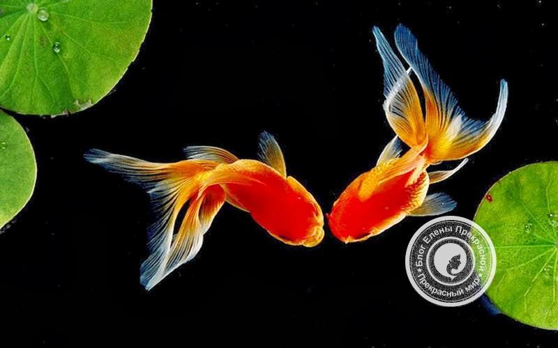 Две рыбки по фен шуй