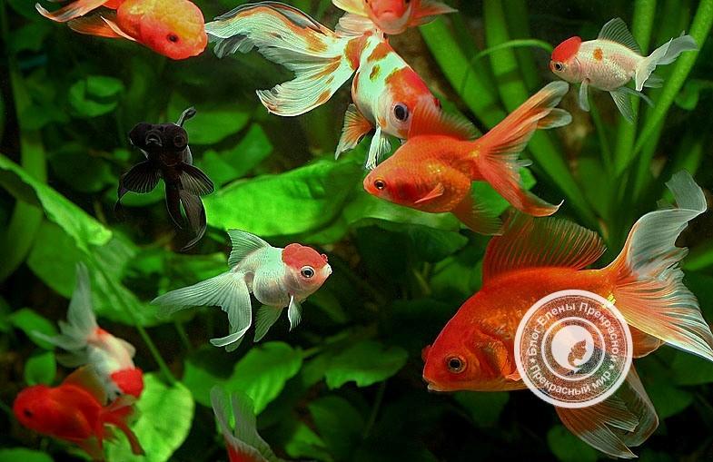 Аквариумные рыбки по фен шуй