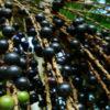 Миниатюра к статье Ягоды асаи: «молодильные яблочки» из Бразилии